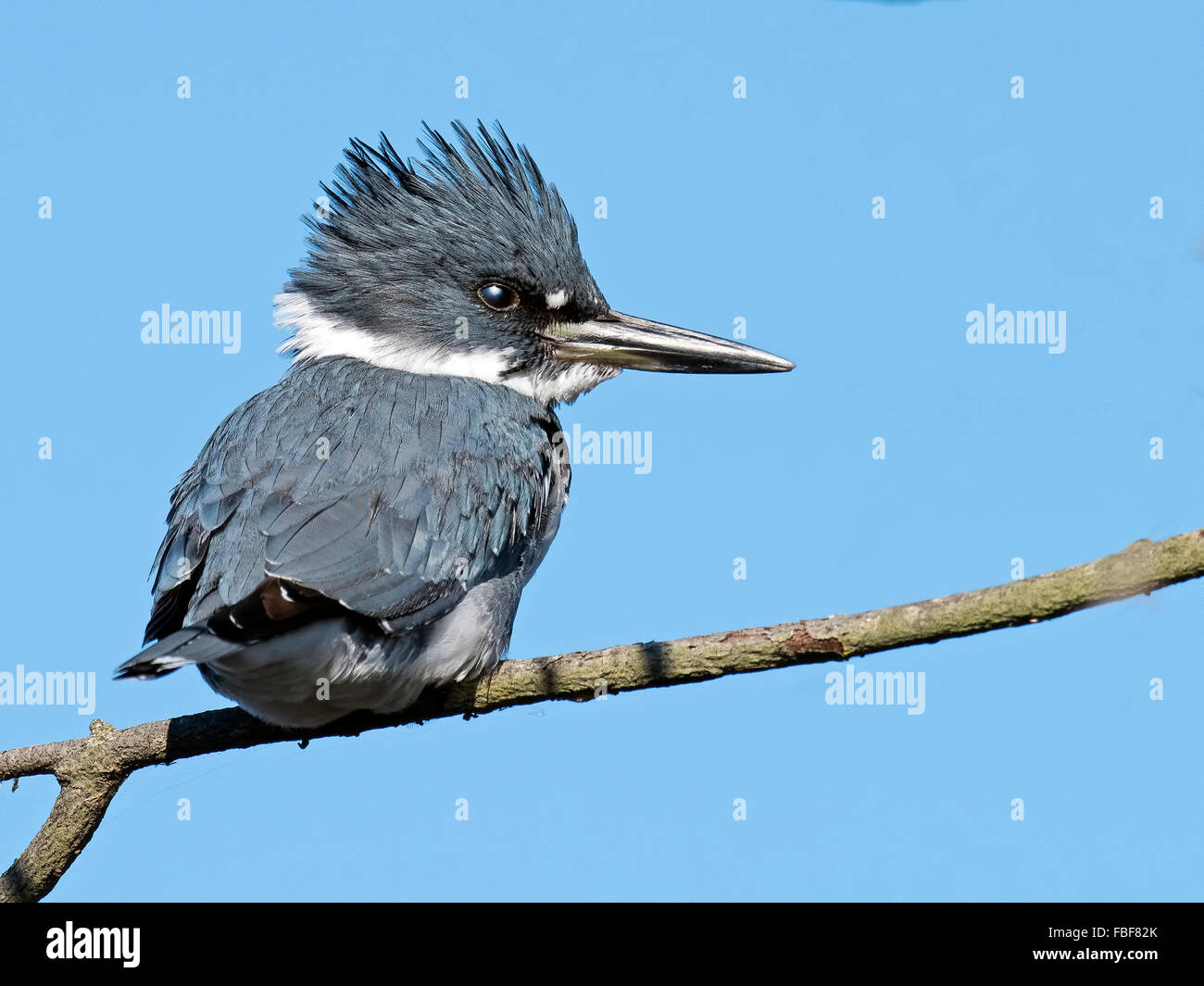 Belted Kingfisher - Stock Image