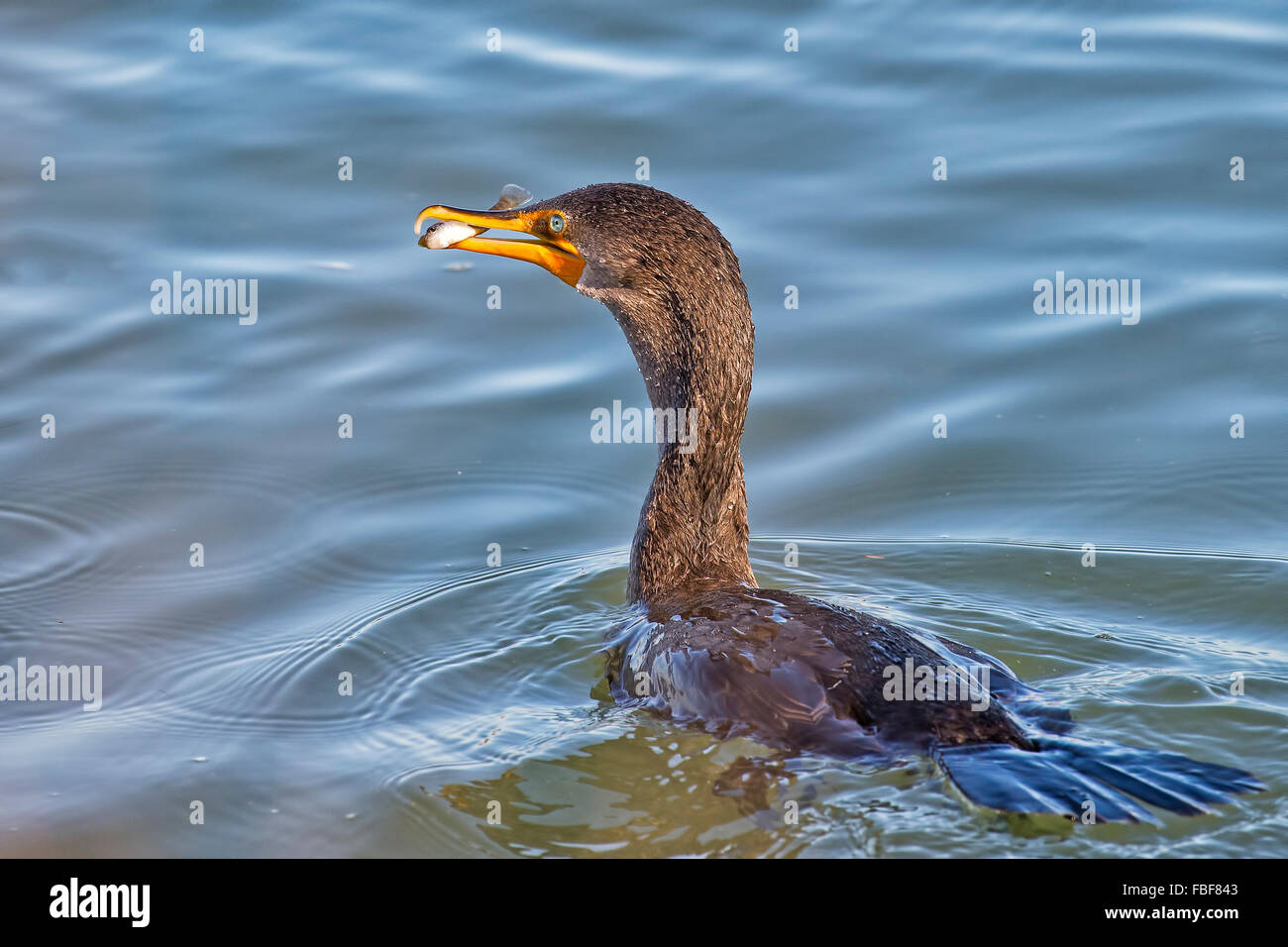 Double-crested Cormorant with Fish - Stock Image