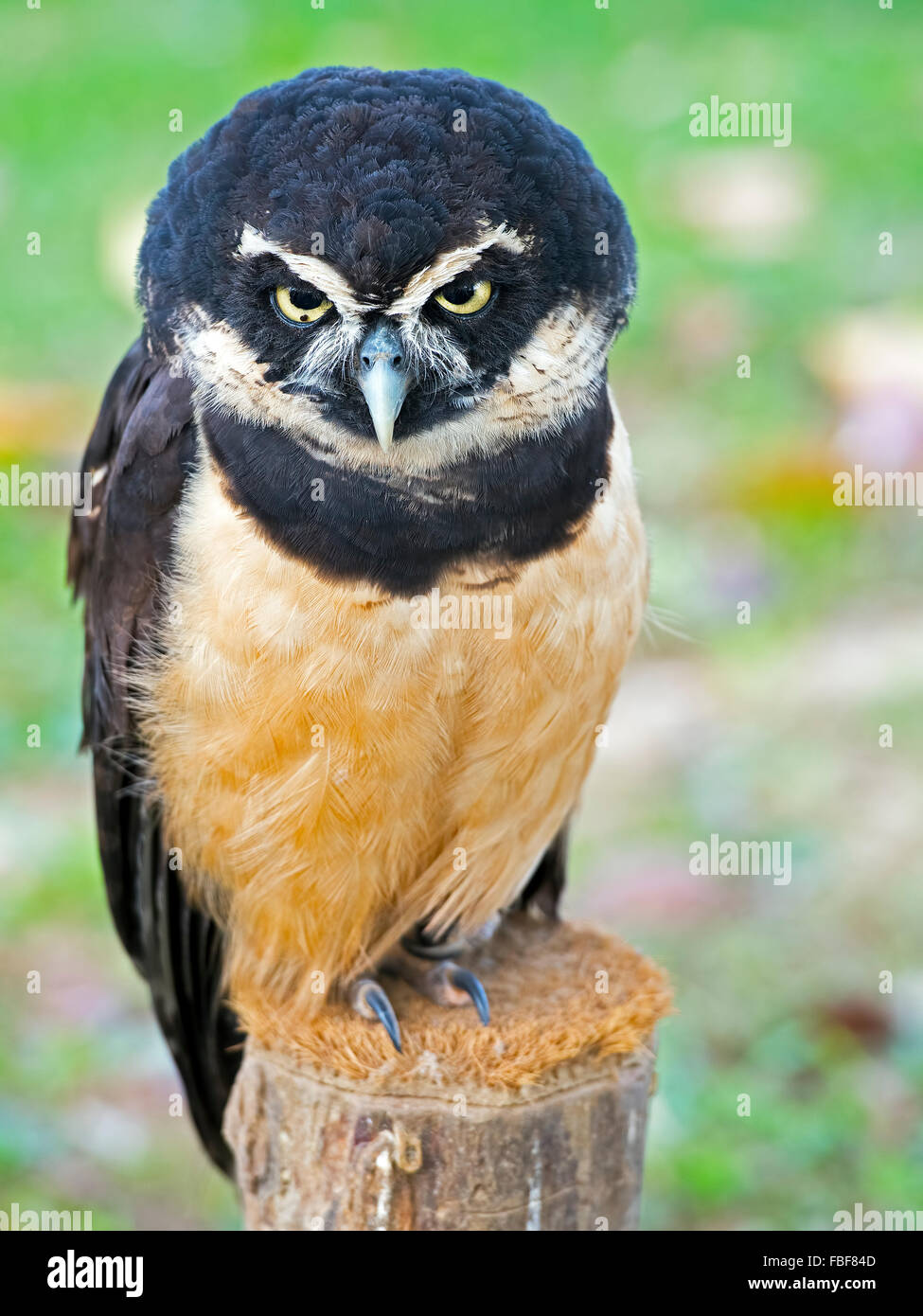 Spectacled Owl - Stock Image