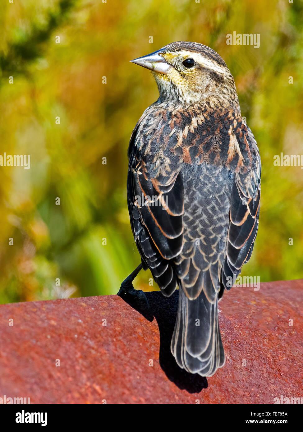 Female Red-winged Blackbird - Stock Image