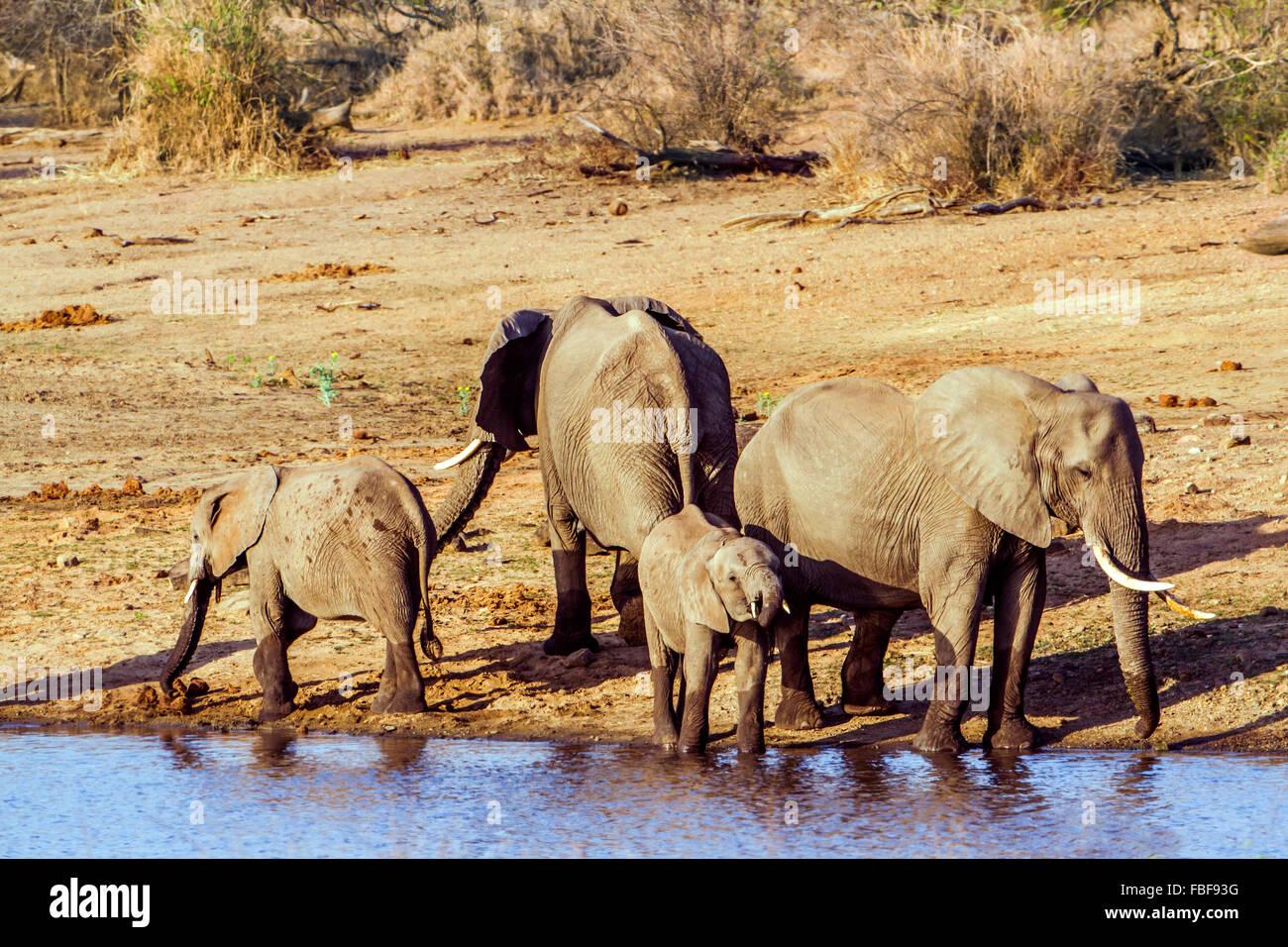 African bush elephant specie Loxodonta africana family of Elephantidae - Stock Image