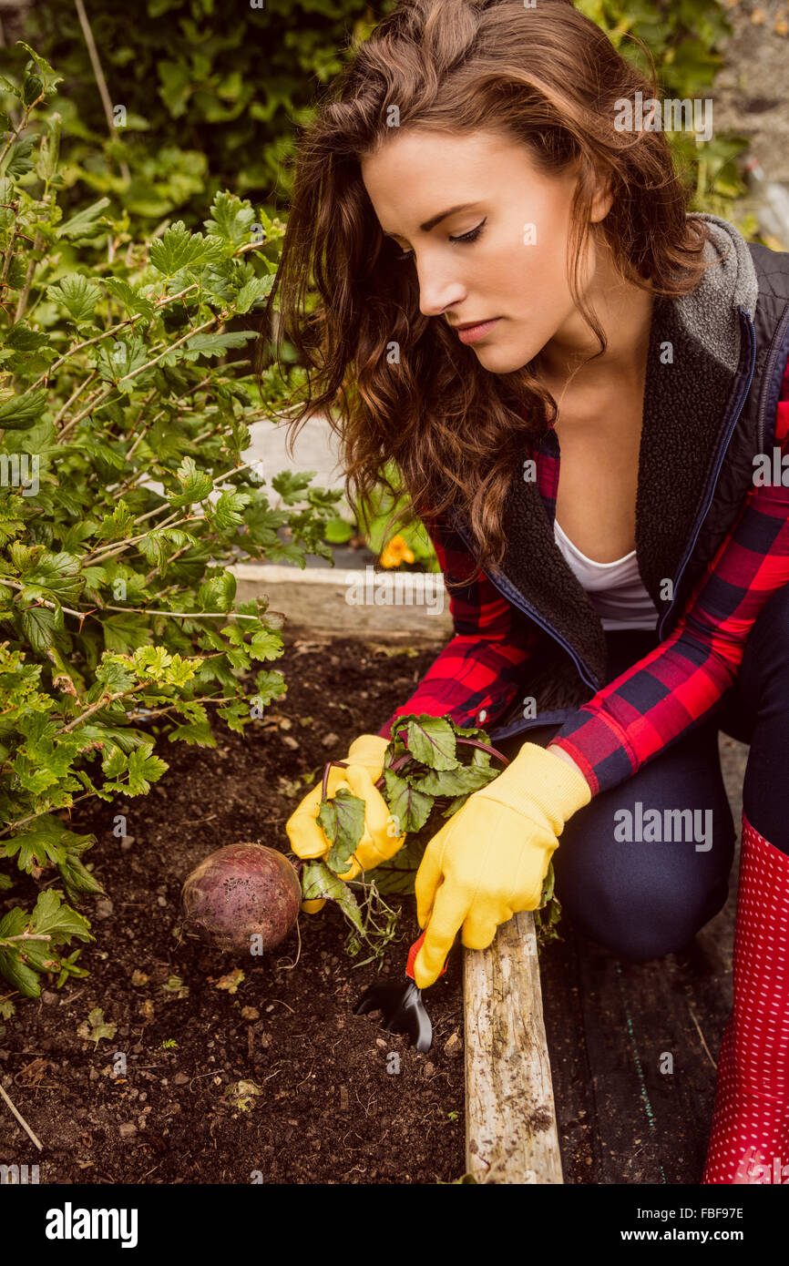 Young woman harvesting beetroot - Stock Image
