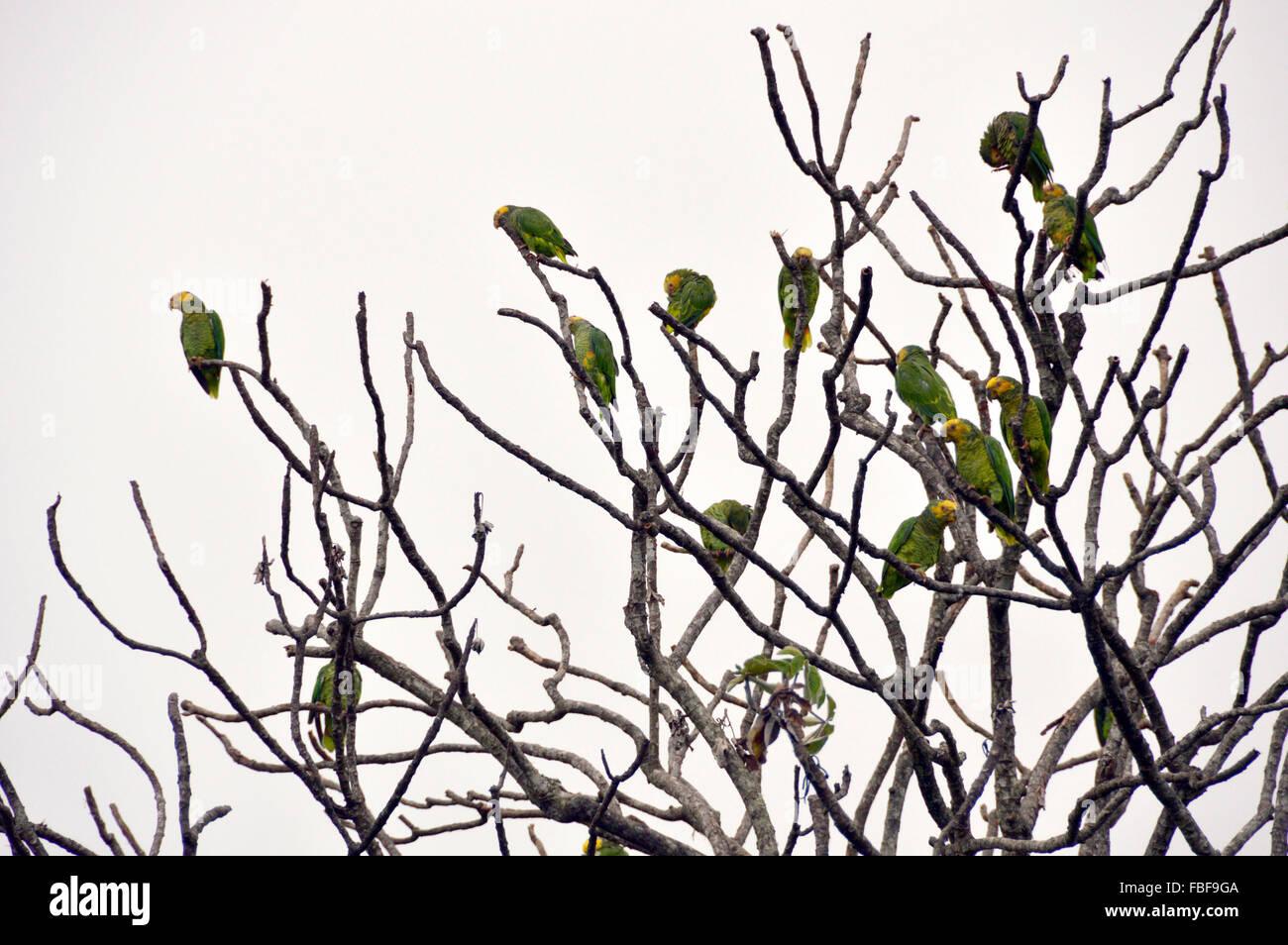 Parrots at chapada dos veadeiros psitacidae cerrado fauna - Stock Image