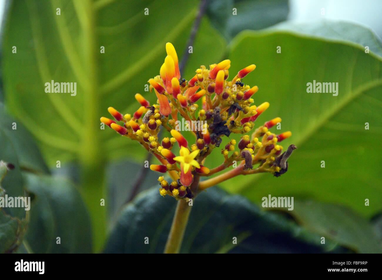 Flower and buds closeup at chapada dos veadeiros,Goias Brazil - Stock Image