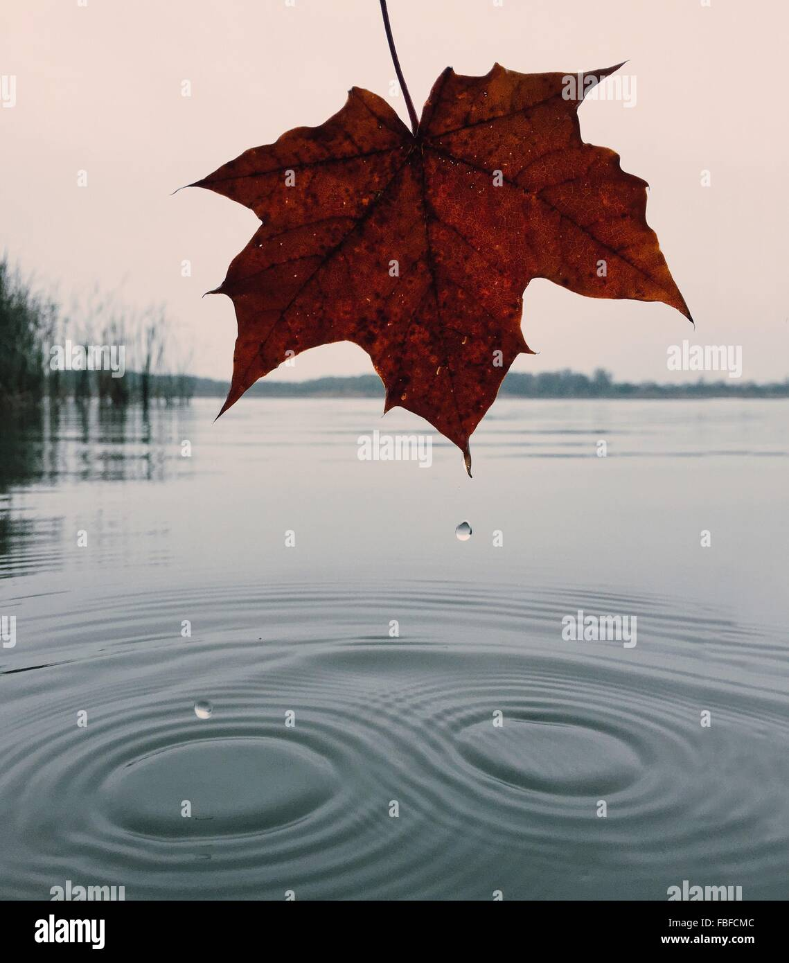 Dry Maple Leaf Over Lake Against Sky During Autumn - Stock Image