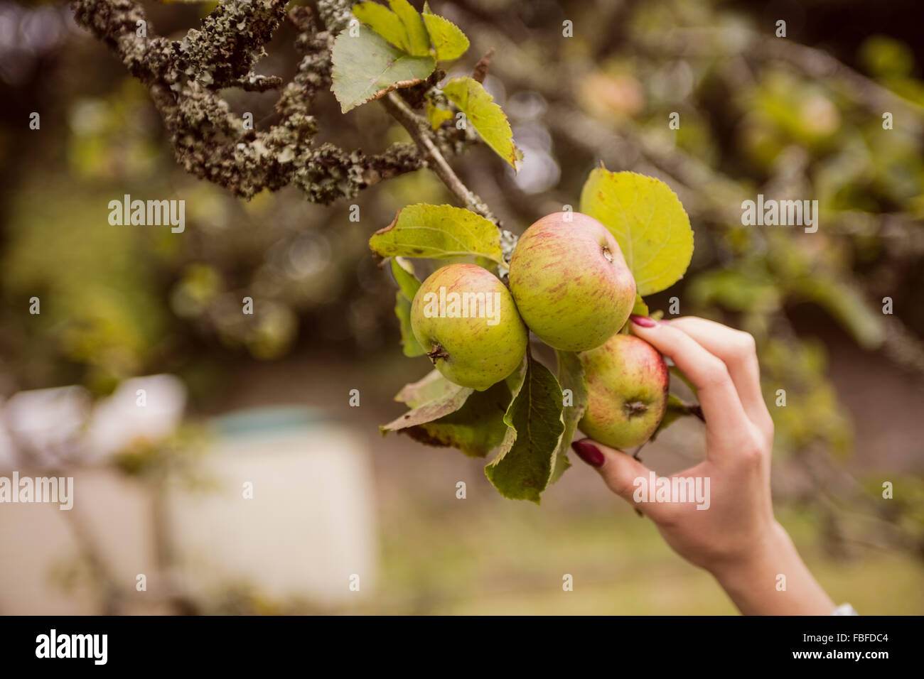 Woman touching apple tree - Stock Image