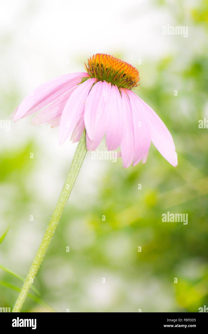 Blossom of a pink Echinacea purpurea flower - Stock Image