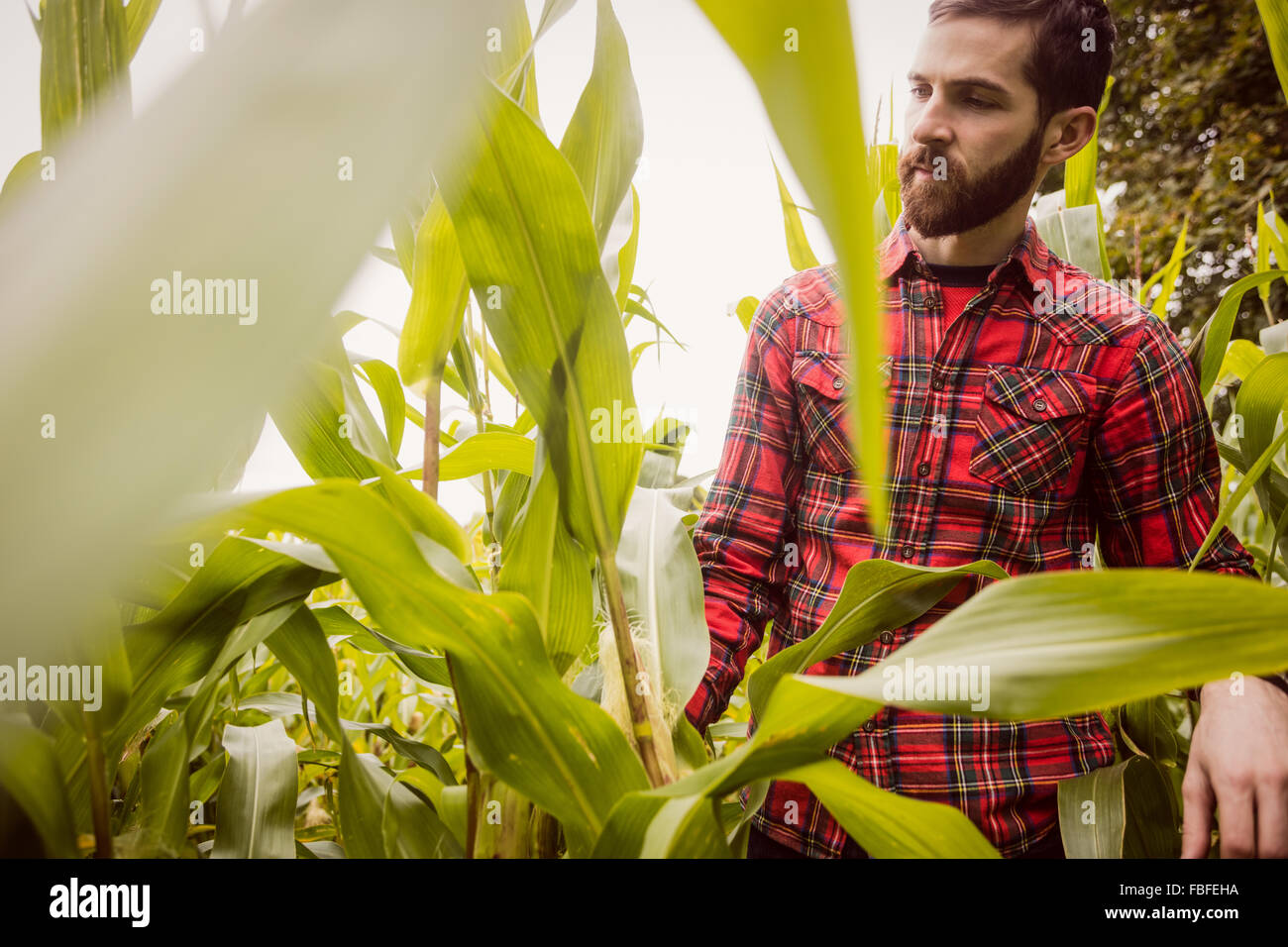 Man looking at corn - Stock Image