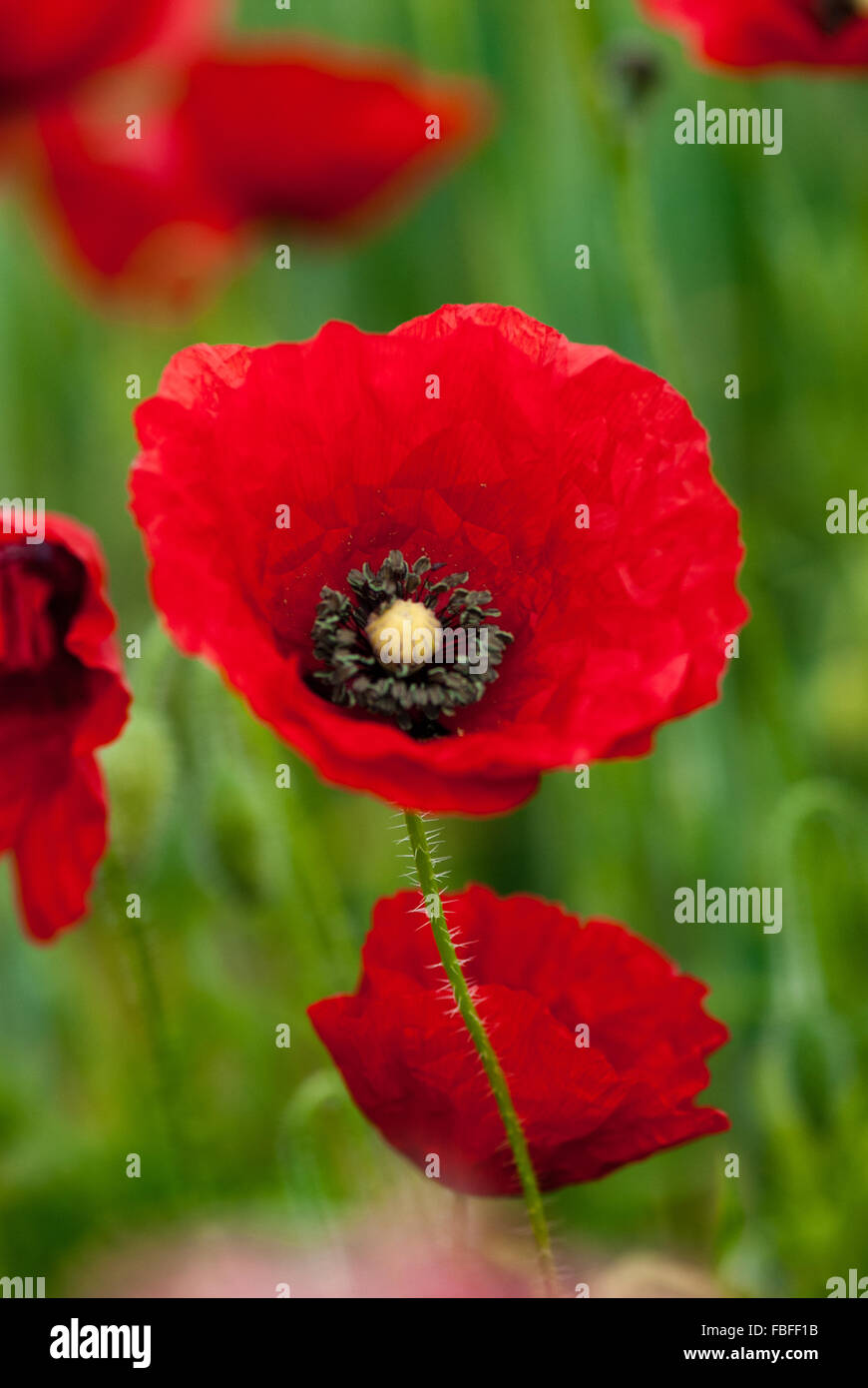 Poppies against a softly focused background, England, UK - Stock Image