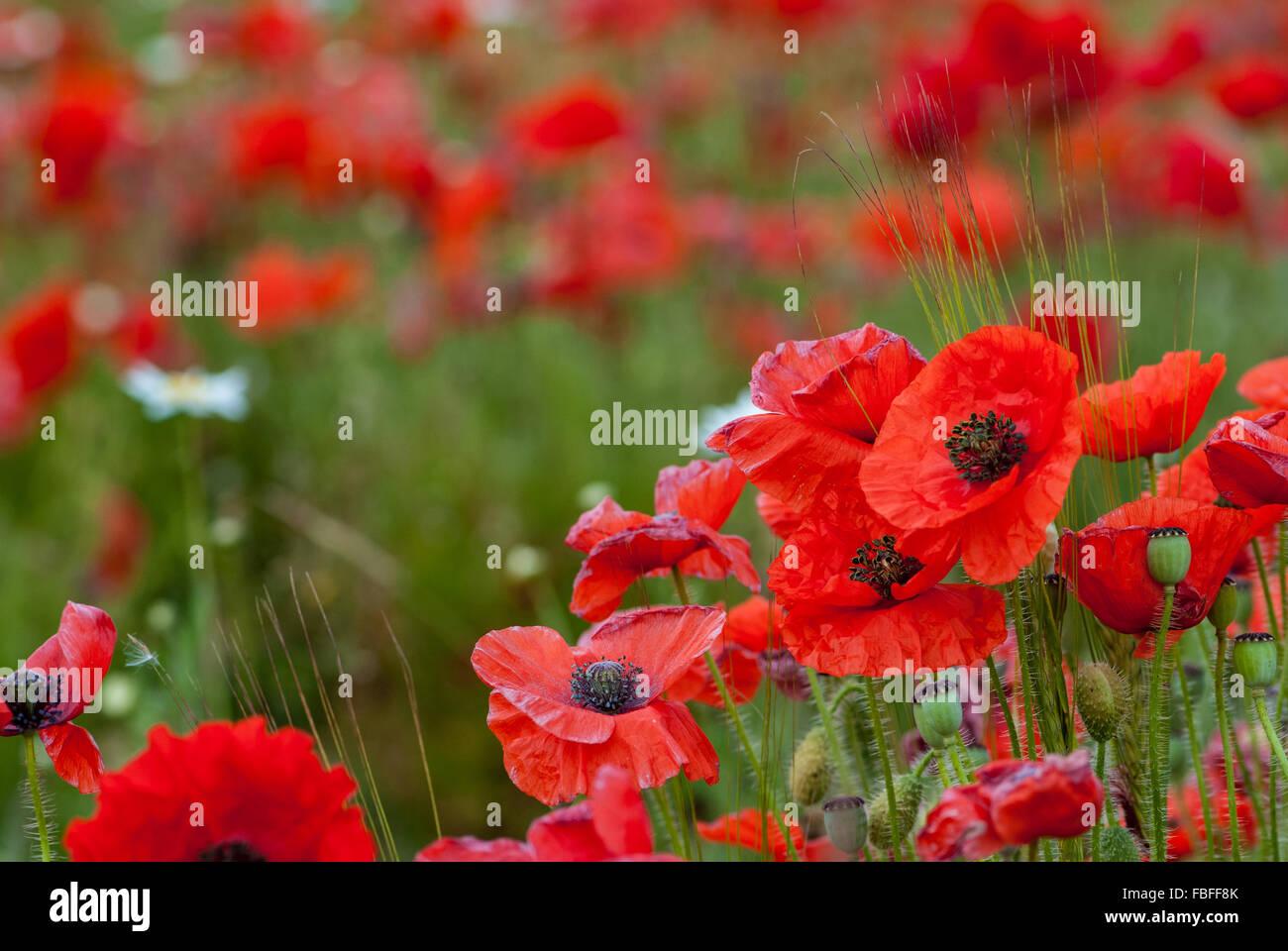 Field of Poppies, England, UK - Stock Image