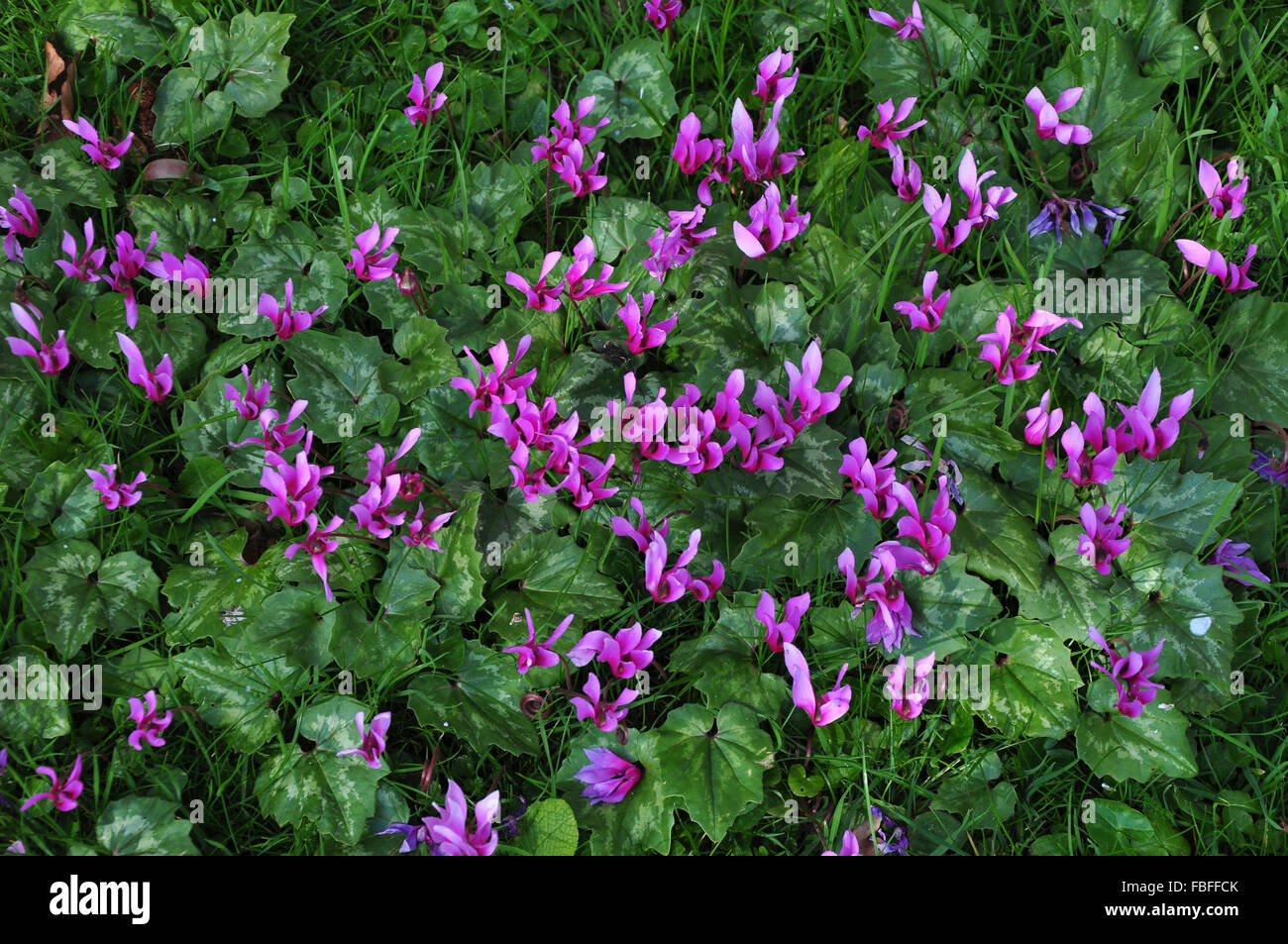 A clump of cyclamen repandum showing their heart shaped dark green leaves and silvery green patterning - Stock Image