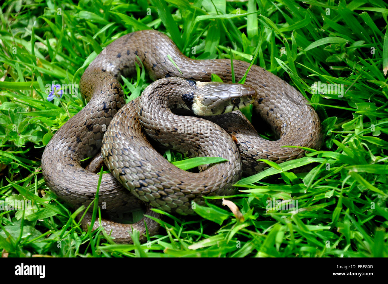 Grass snake curled up in the grass UK - Stock Image
