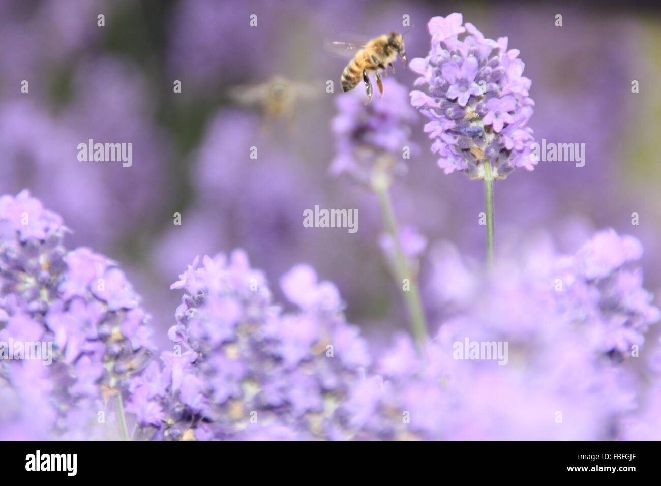 Close-Up Of Bee By Lavenders - Stock Image