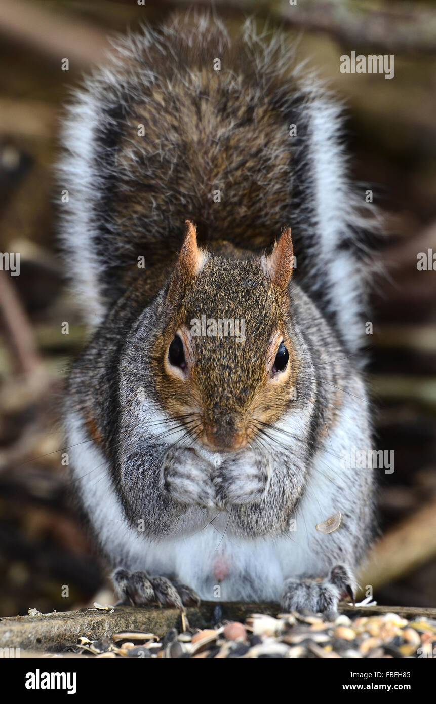 A close up of a grey squirrel eating from its paws UK - Stock Image