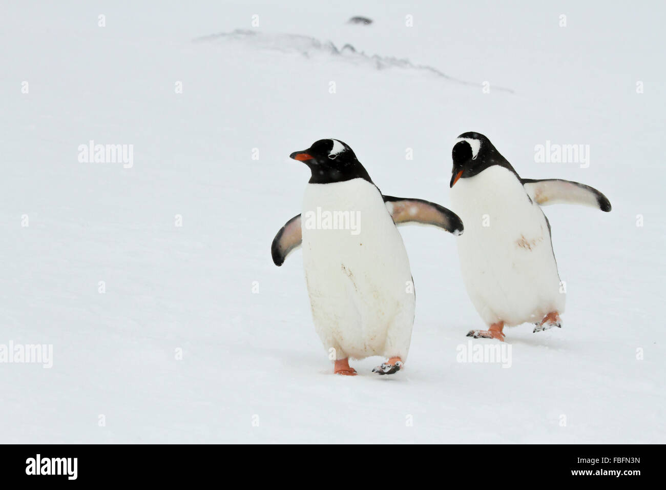 Pair of gentoo penguins on Ronge Island, Antarctica walking in sync step. - Stock Image