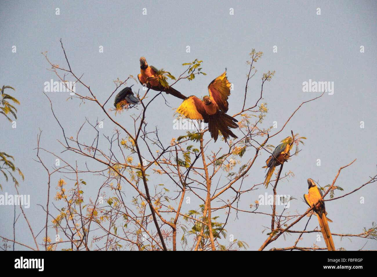 Birds, macaw flying, fauna, cerrado, chapada dos veadeiros,Brazil - Stock Image