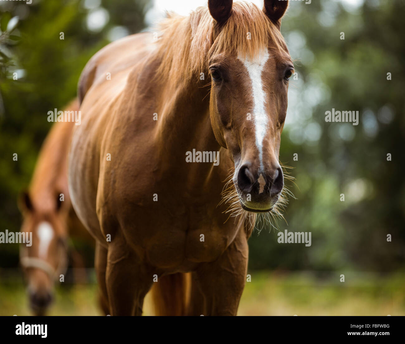 Thorough bred horse looking at camera - Stock Image