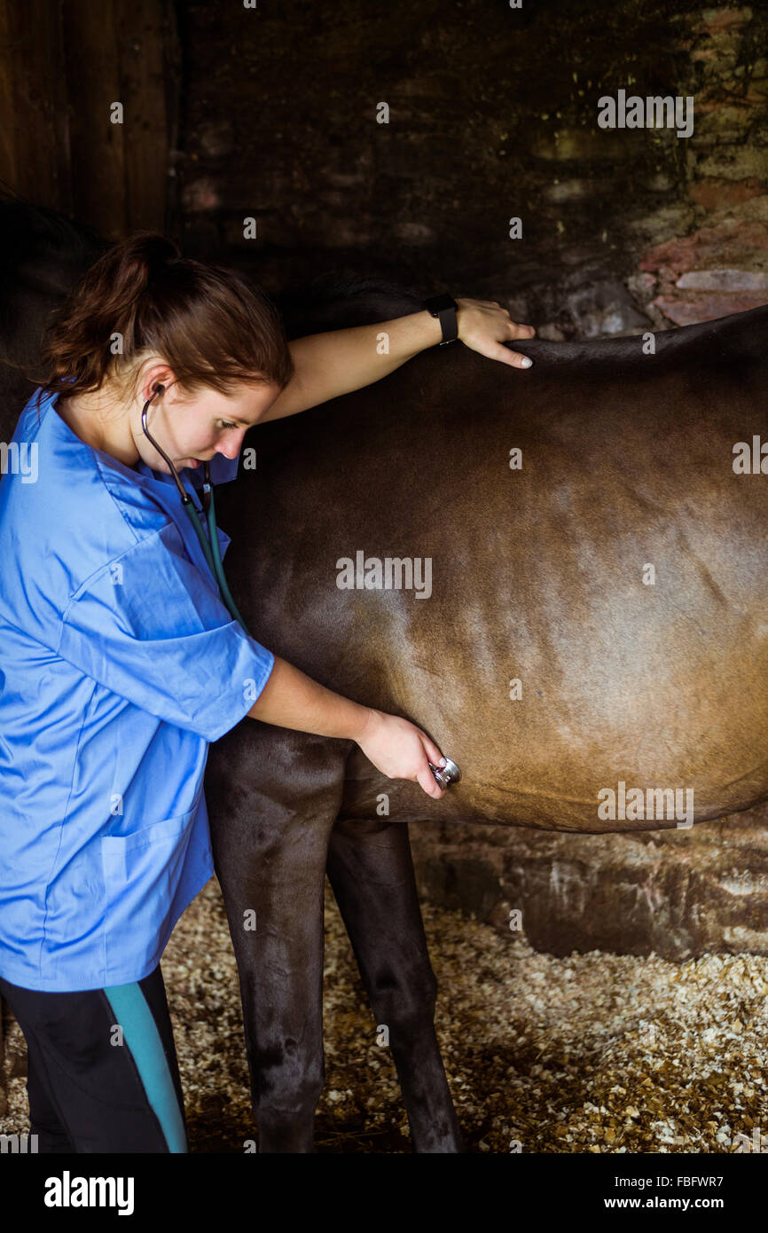 Vet examining horse in stable - Stock Image