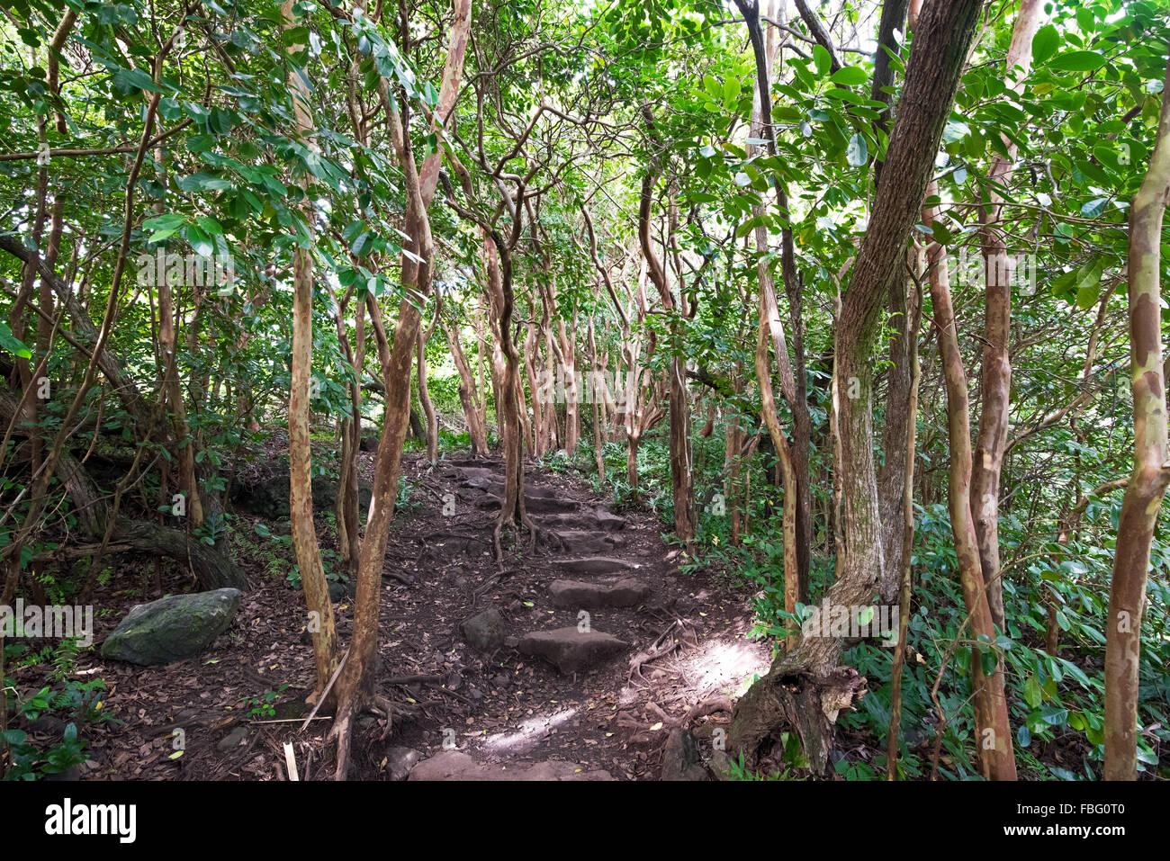 The Pipiwai Trail travels through a eucalyptus grove - Stock Image