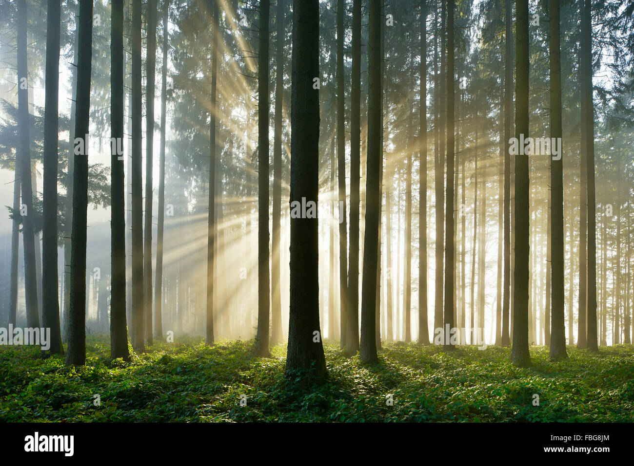 Spruce forest with sunbeams through mist, Lindenberg, Canton of Aargau, Switzerland - Stock Image