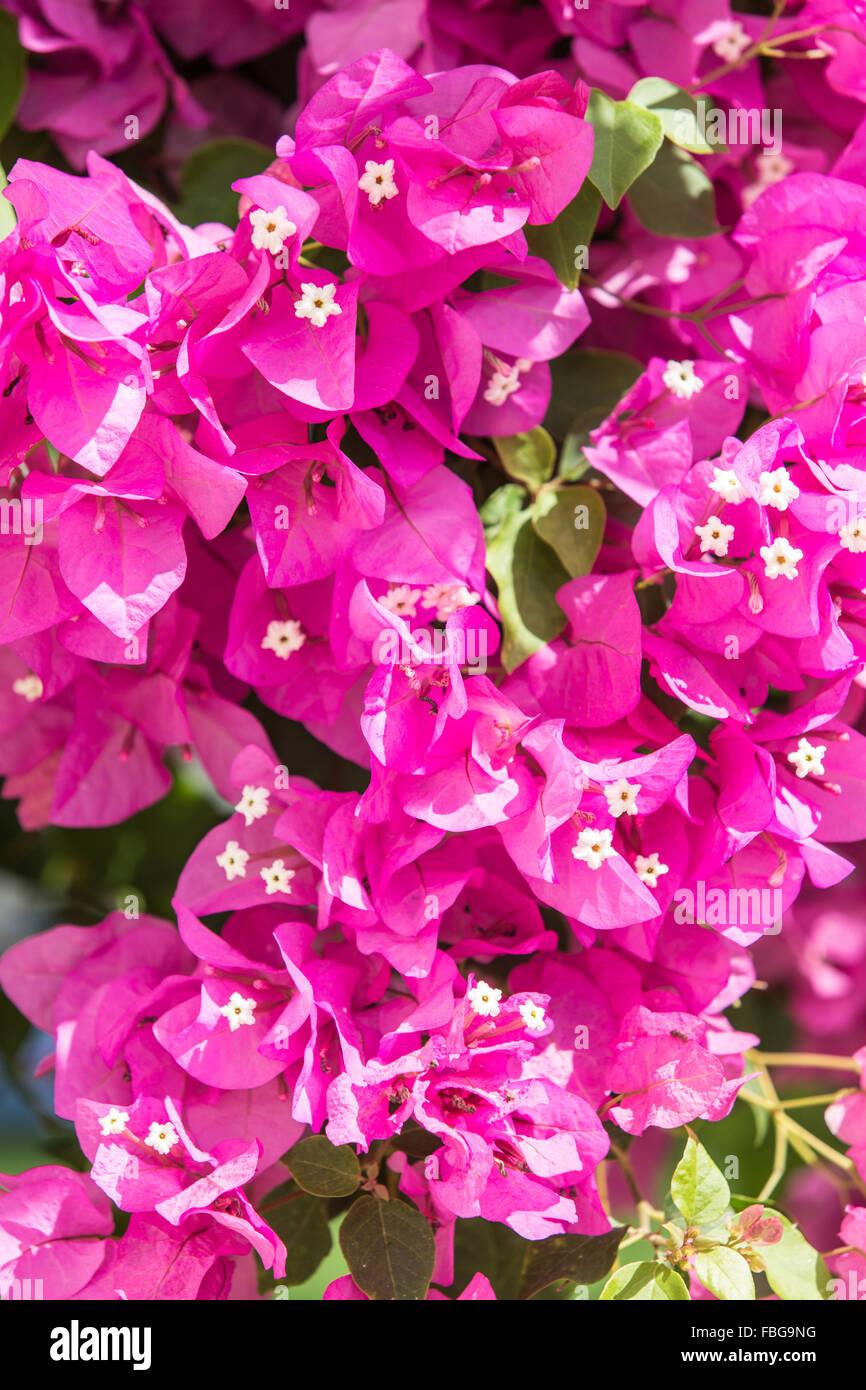 Magenta color bougainvillea in blossom. Close up. - Stock Image
