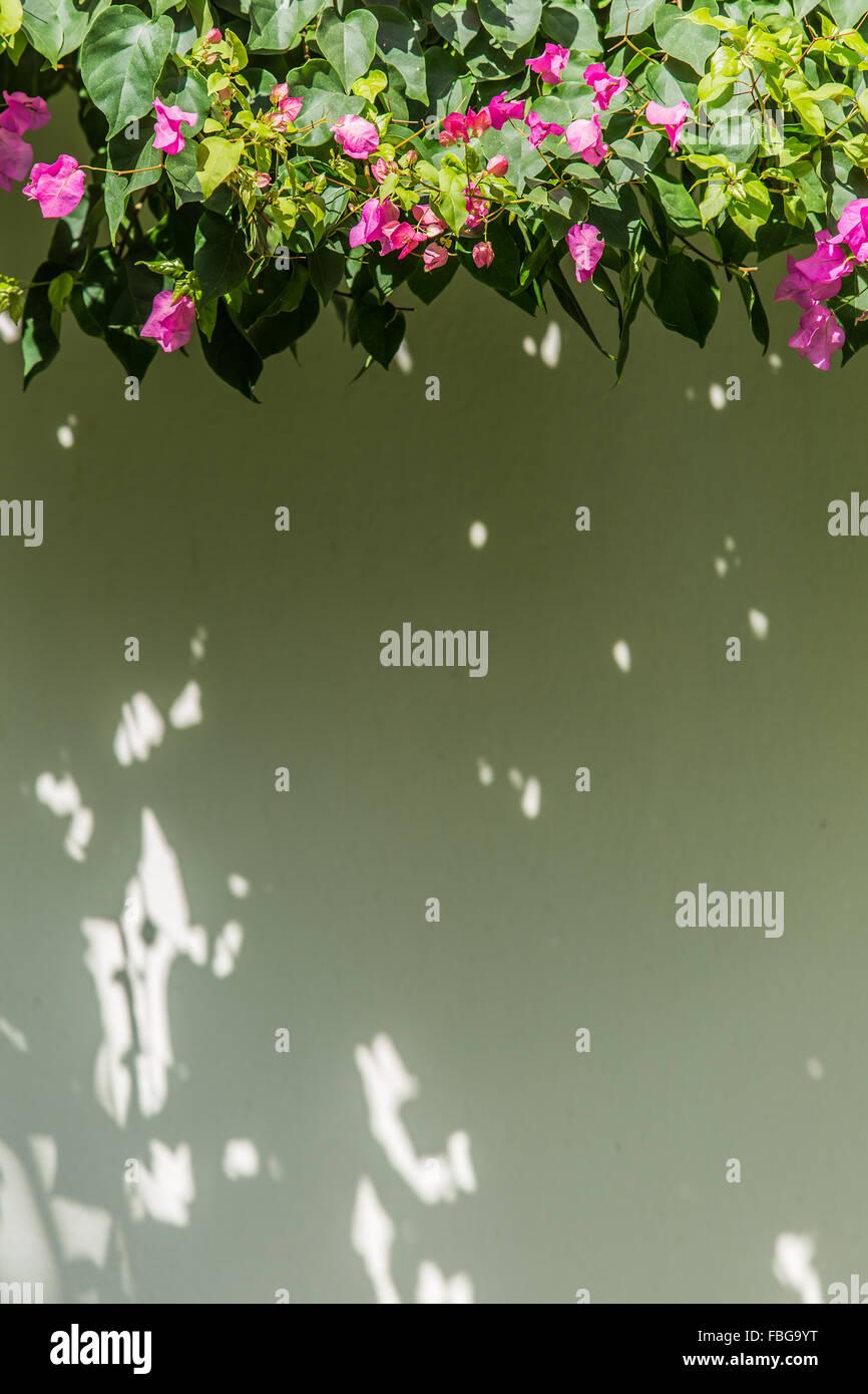Evergreen Bougainvillea shrub as the wall decoration. - Stock Image
