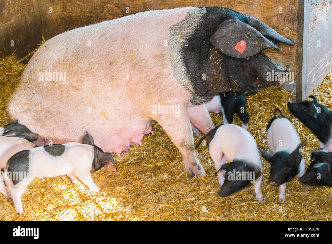 swabian hall sow and piglets, open-air museum, wackershofen, schwäbisch hall, baden-wuerttemberg, germany - Stock Image