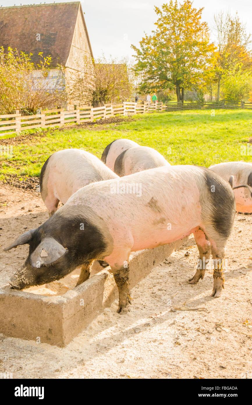 swabian hall pigs, open-air museum, wackershofen, schwaebisch hall, baden-wuerttemberg, germany Stock Photo