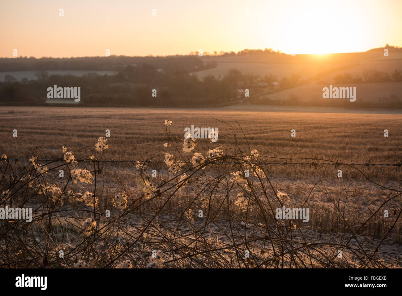 Hill Farm, Morestead, Hampshire, UK, 16th January 2016. UK Weather. The rising sun shines through the furry seed - Stock Image