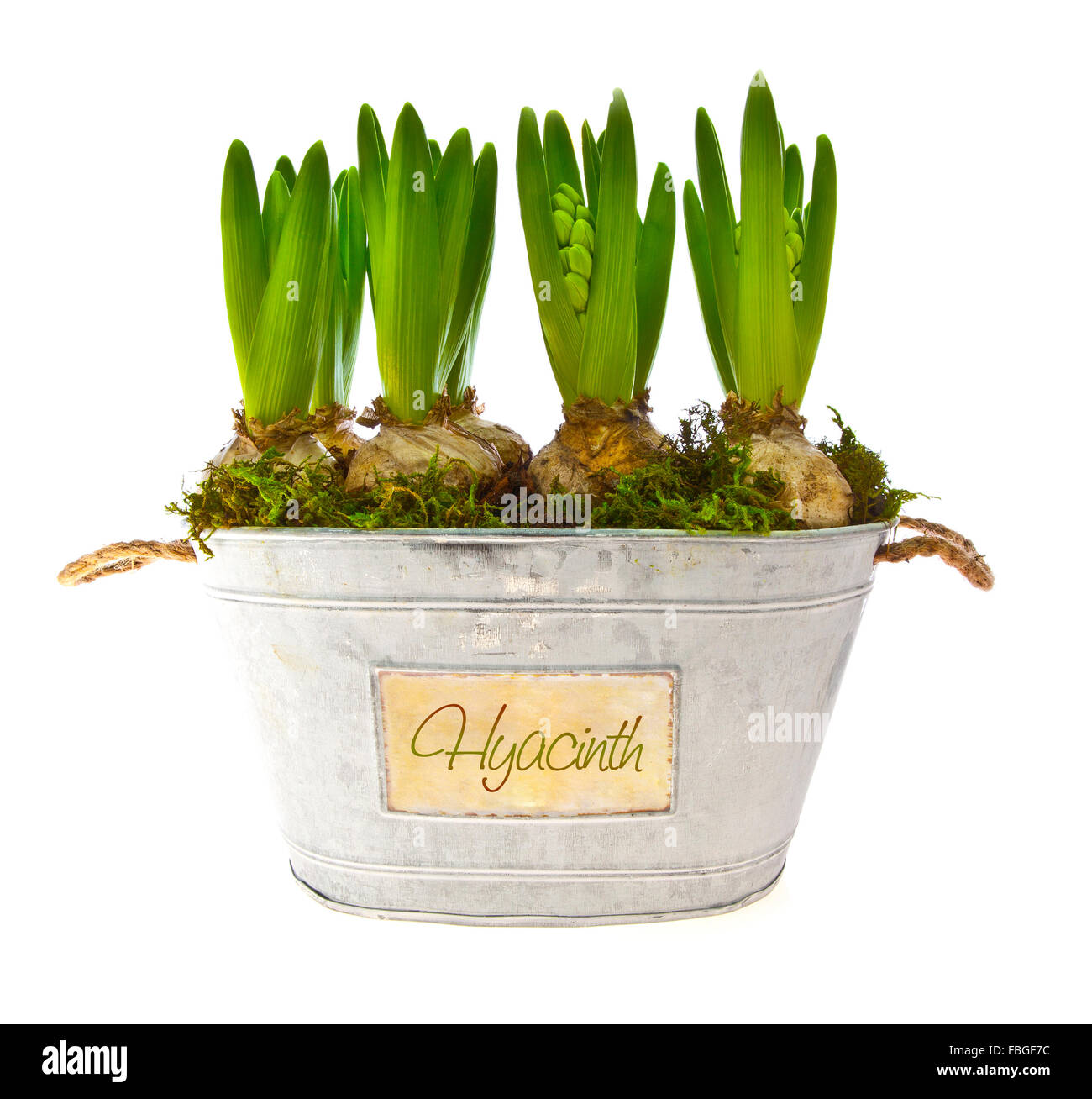 Growing hyacinth flower bulbs in pot isolated on white background Stock Photo