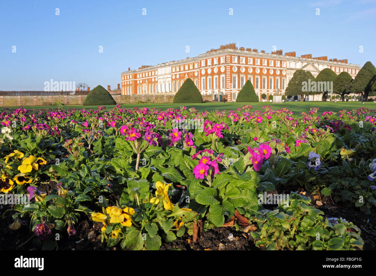 Hampton Court, London, UK. 16th January 2016. A colourful display of purple primulas and yellow pansies planted - Stock Image