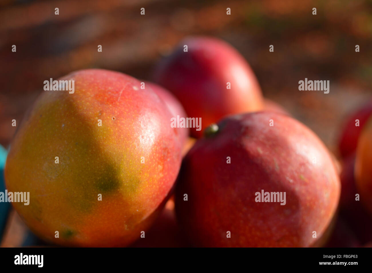 Mango sold on the streets of Copan Ruinas in Honduras - Stock Image
