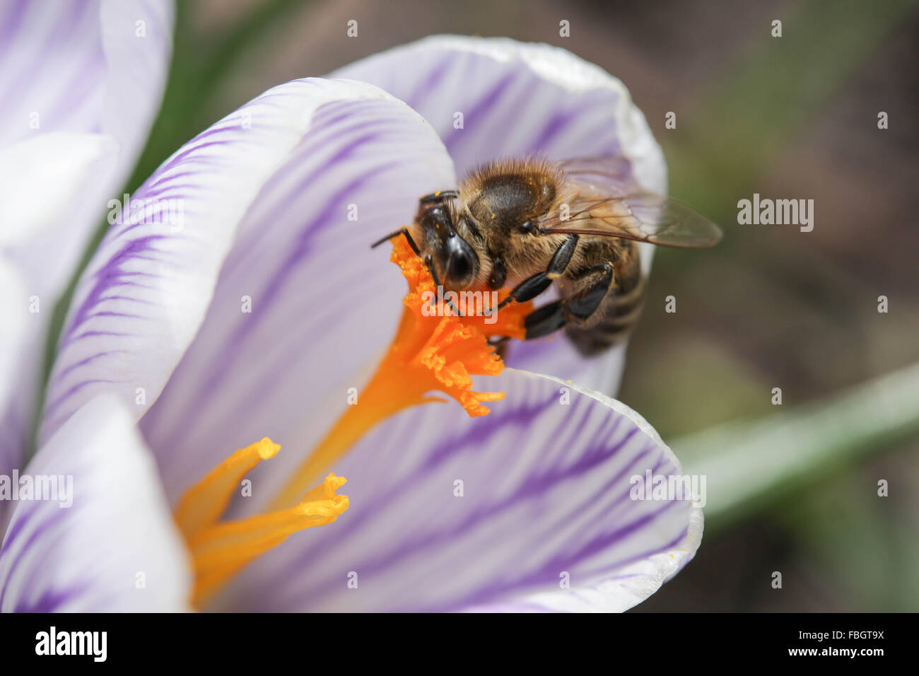 Macro - insects - bee on violet striped crocus - Stock Image