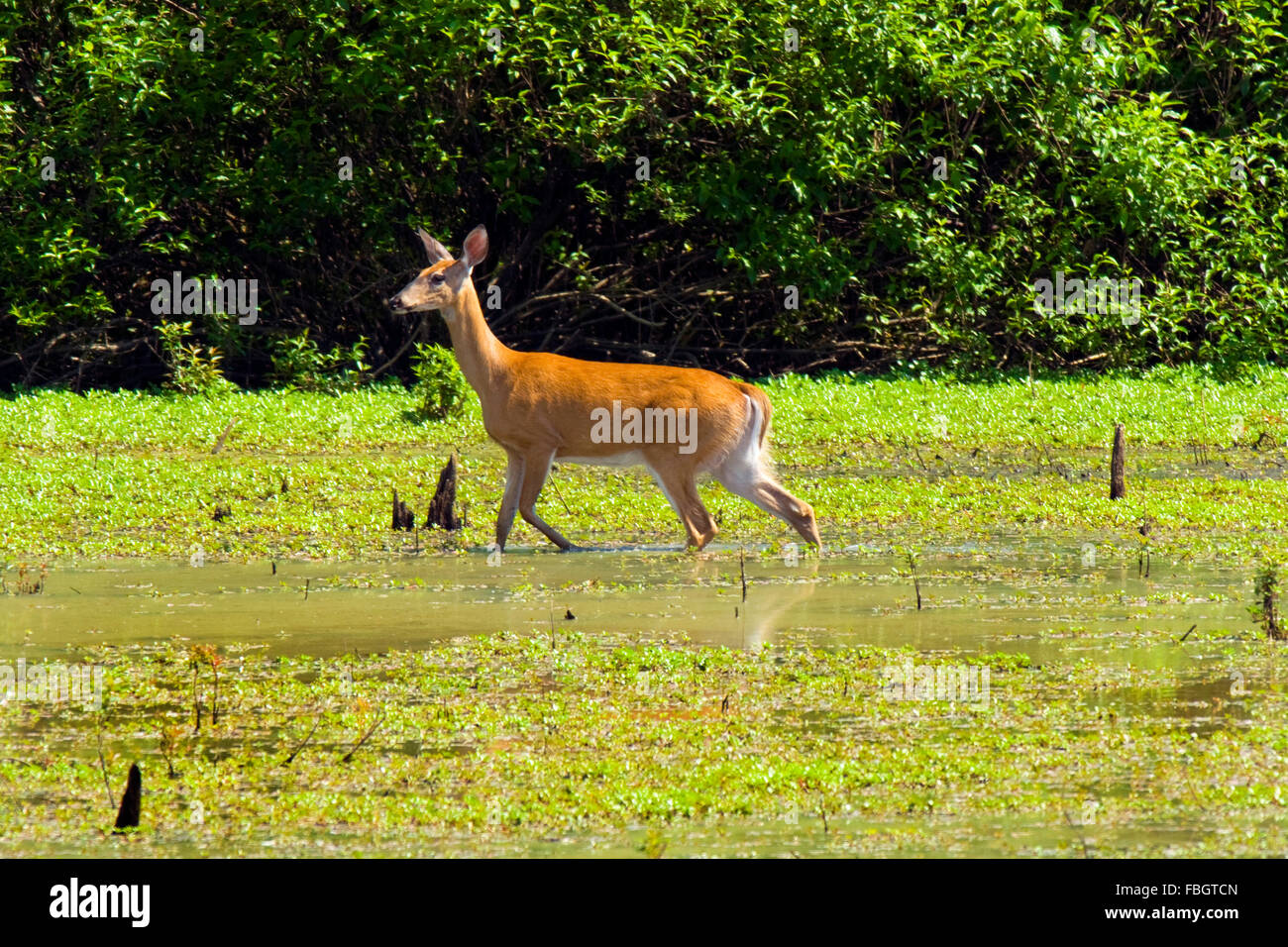 A white-tailed doe deer in a wetland marsh area in Monroe County, Indiana, USA. Stock Photo