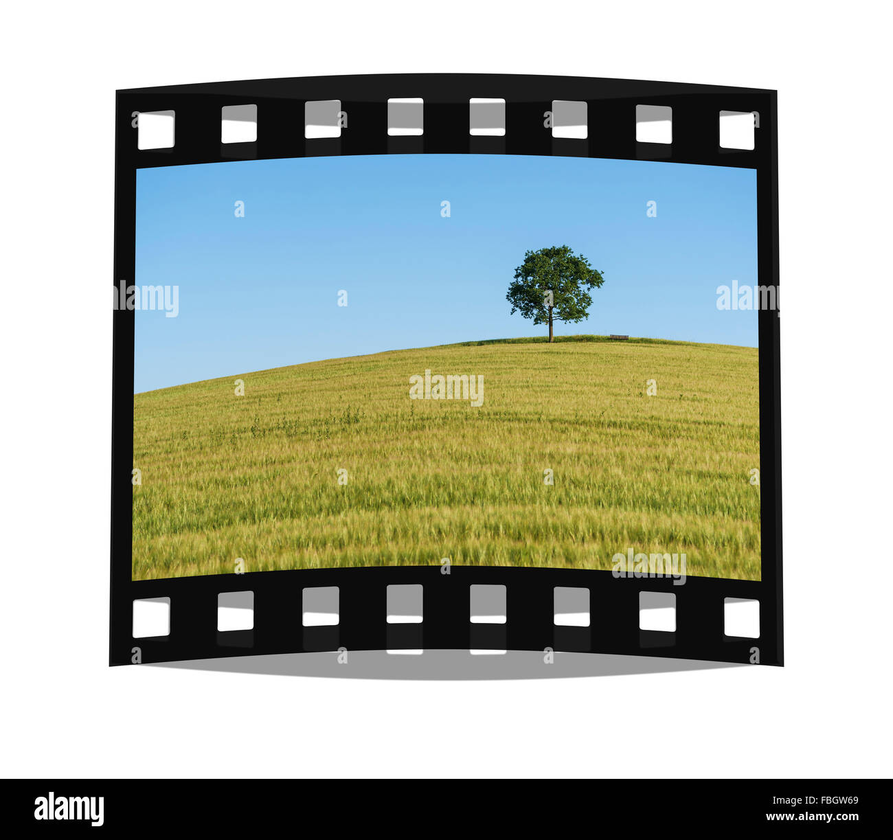 An oak tree and a Bench standing on a hill in a wheat field in summer - Stock Image