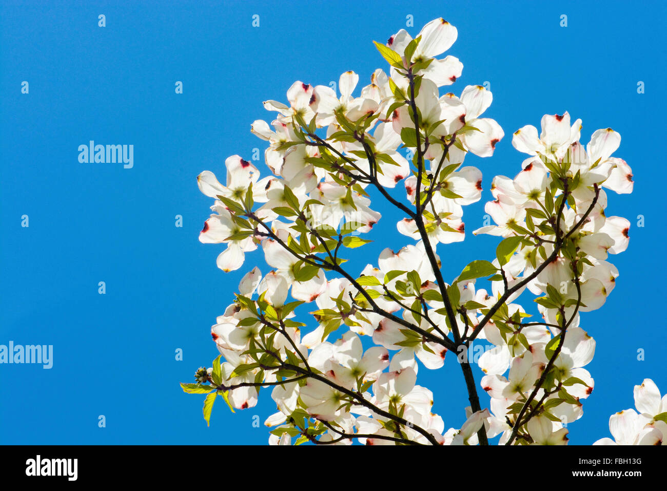 White dogwood tree branch blooming in the springtime against a clear ...