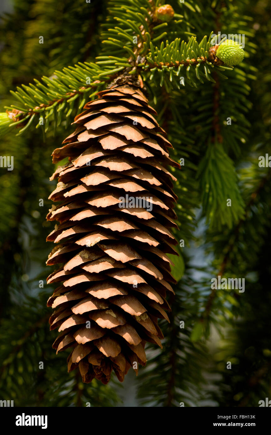 A single pine cone hanging from the tree with new buds of future cones. - Stock Image