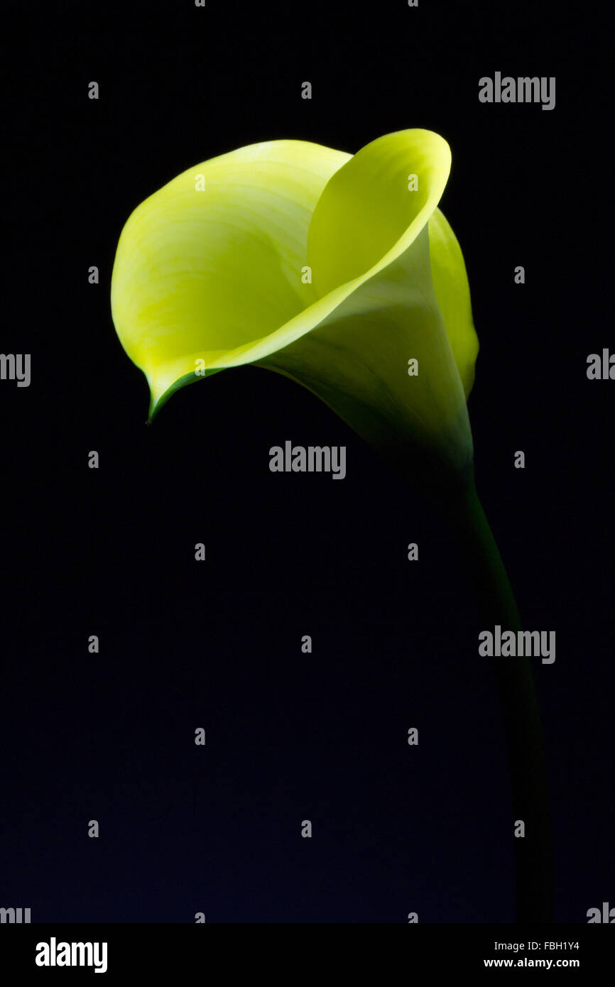 Yellow calla photographed in darkness with light concentrated on the tip of the flower - Stock Image