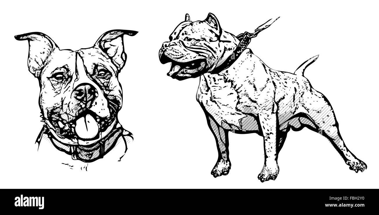 american pitbull terrier illustration on white - Stock Image