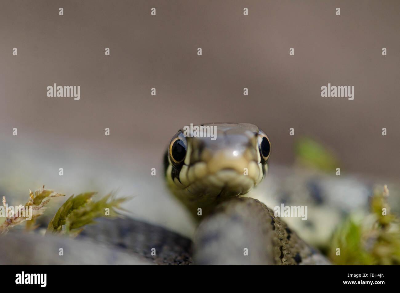Grass Snake hatchling - Stock Image