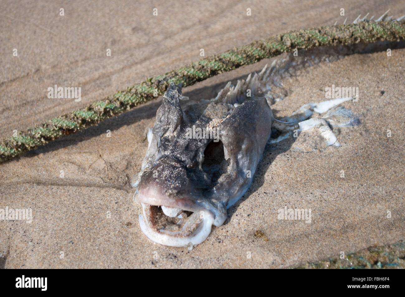 Seabass head in a harbor - Stock Image