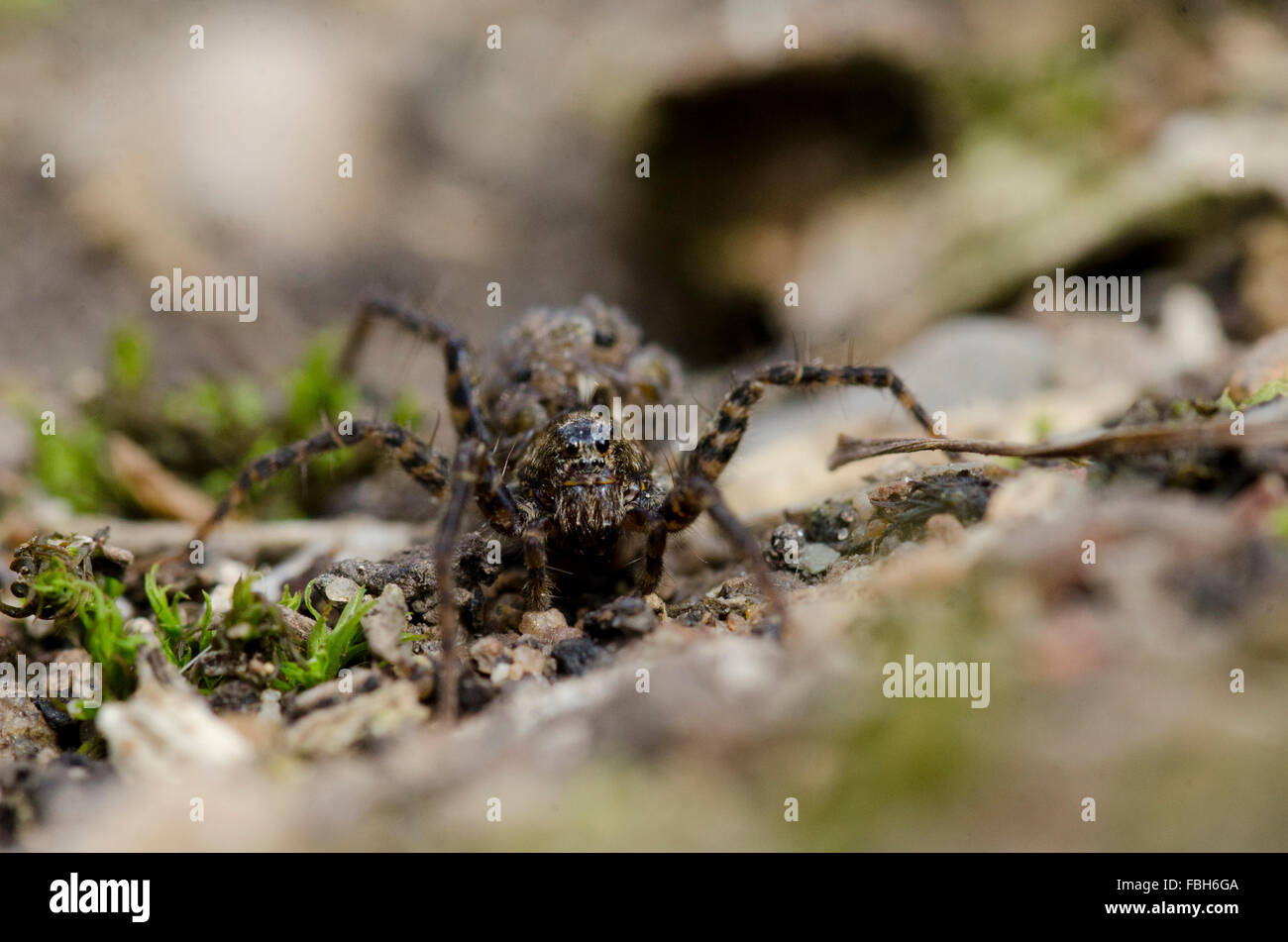 Wolf Spider with her young on her back - Stock Image