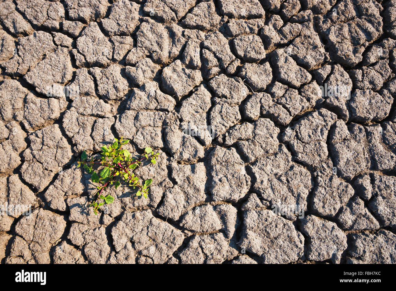 Sorrel on parched soil on the shore of a brackish water lake at the Baltic coast in village Westermarkels on the - Stock Image