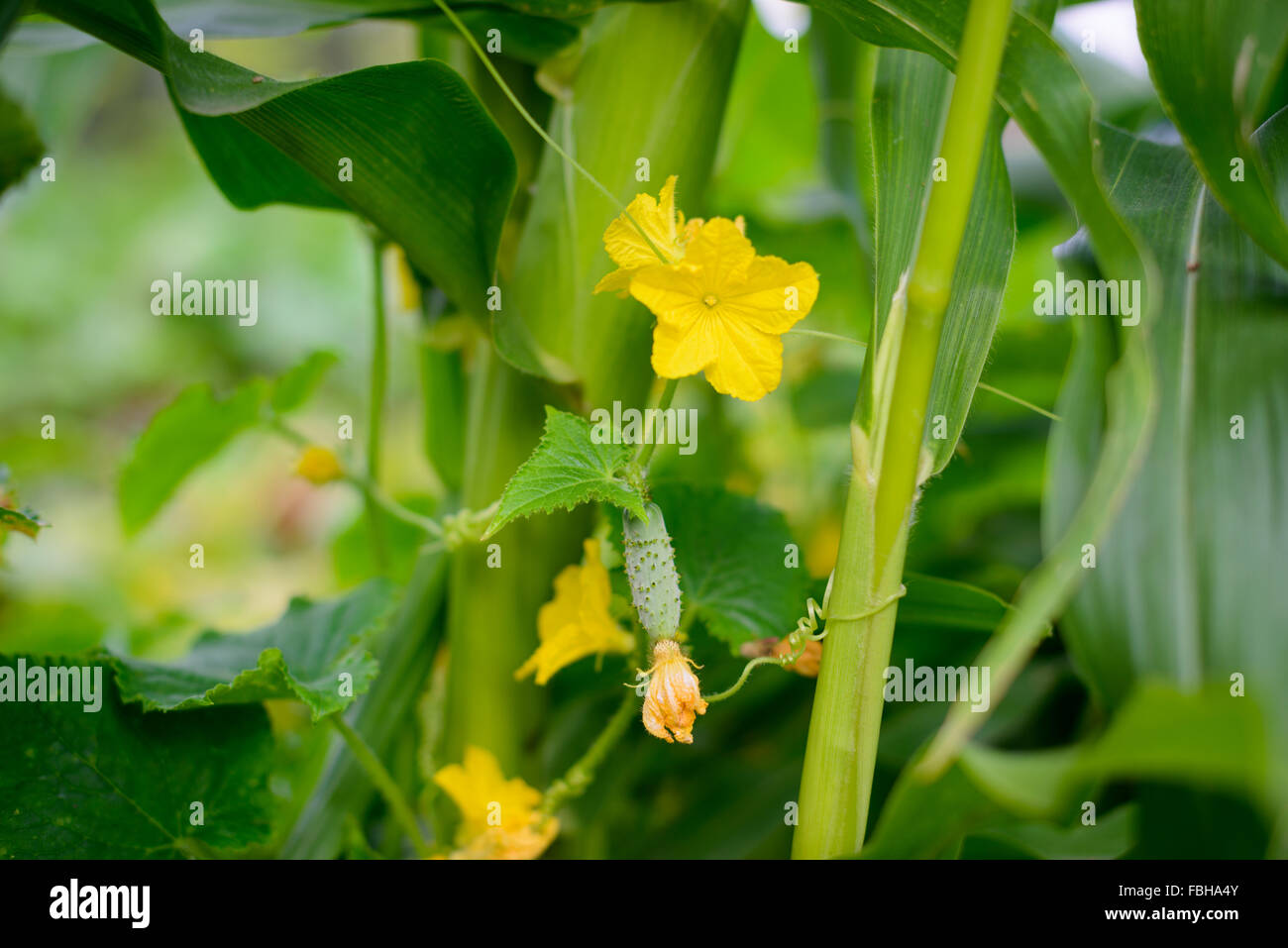 Cucumber vine with germs growing on corn plant - Stock Image