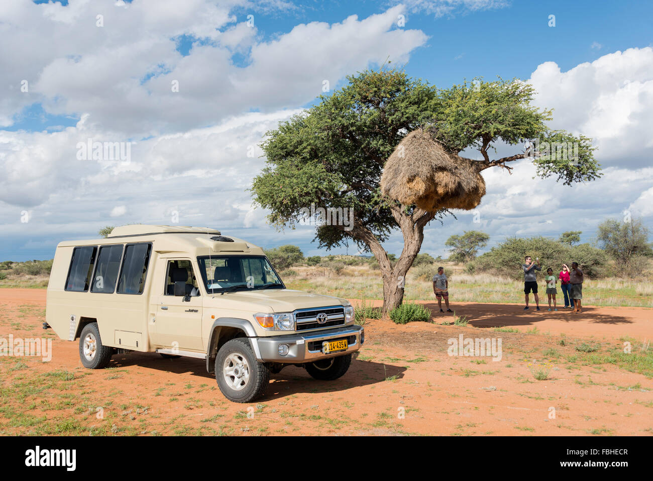Safari tour group at sociable weaver nest in Acacia tree, Namib Naukluft Park, Solitaire, Namib Desert, Republic - Stock Image