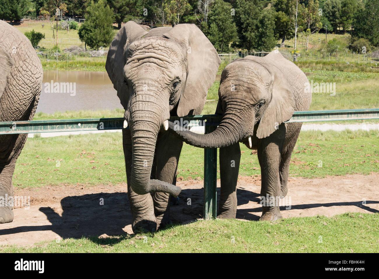 Elephants at Knysna Elephant Park, Plettenberg Bay, Knysna, Knysna Municipality, Western Cape Province, Republic - Stock Image
