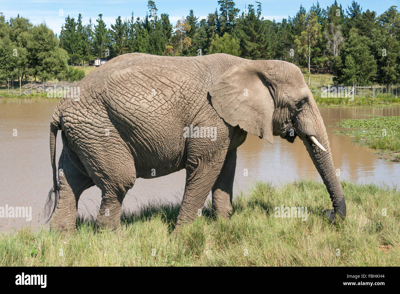 Male elephant at Knysna Elephant Park, Plettenberg Bay, Knysna, Knysna Municipality, Western Cape Province, Republic - Stock Image