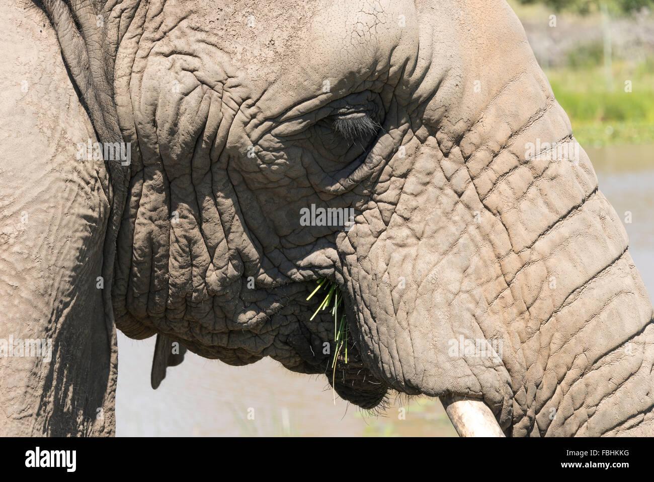 Elephant at Knysna Elephant Park, Plettenberg Bay, Knysna, Knysna Municipality, Western Cape Province, South Africa - Stock Image