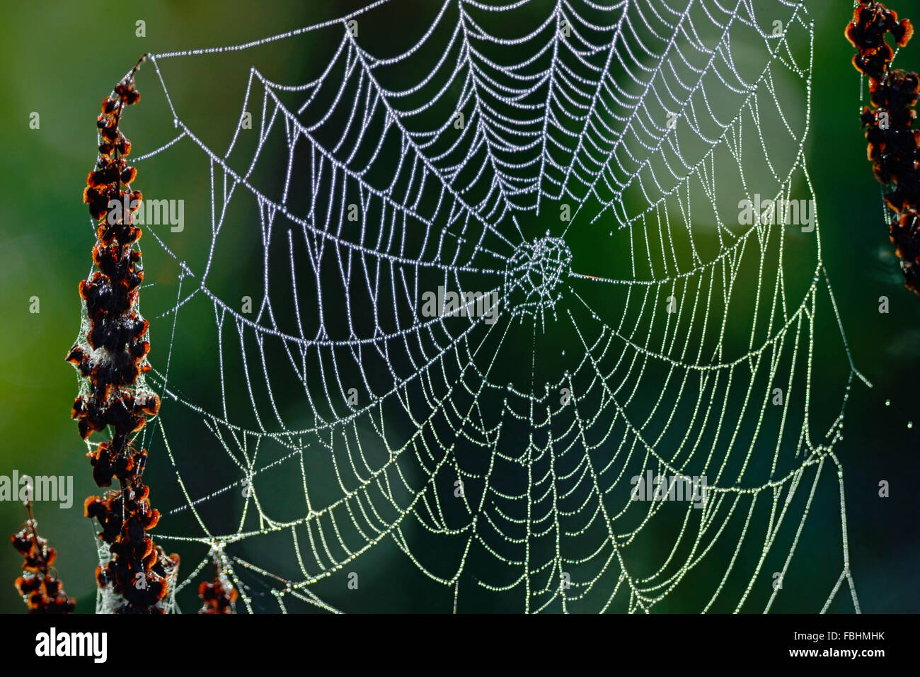 Spider's web suspended in weeds by a marsh with morning dew on the web. - Stock Image