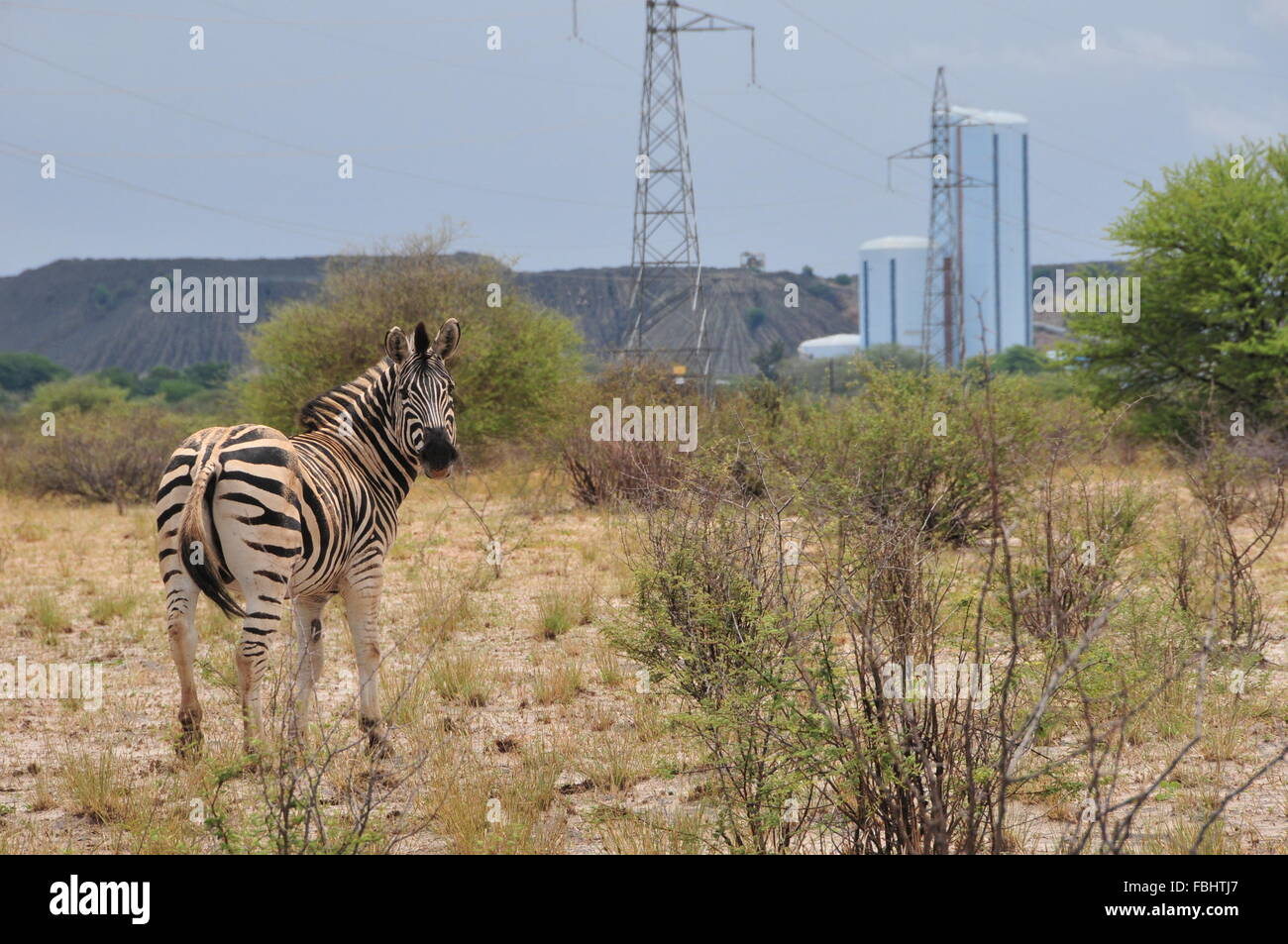 Jwaneng, Botswana. 16th Jan, 2016. A zebra is seen in Jwana Game Park within the boundaries of the Jwaneng mining Stock Photo